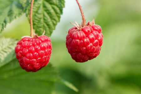 largely: Big and ripe raspberry largely in the summer nature