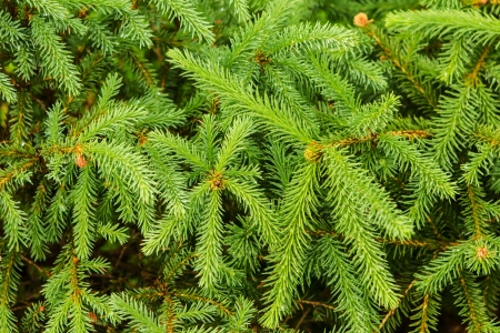 Christmas tree branch for background with fresh green needles