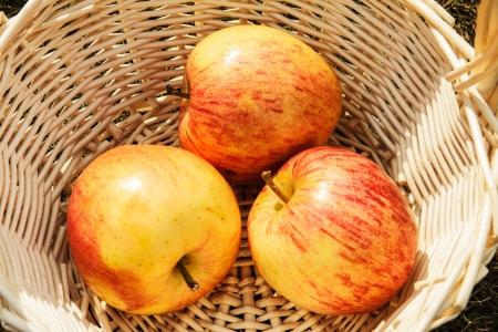 Prerasny fresh crop in an apple garden sunlight. photo