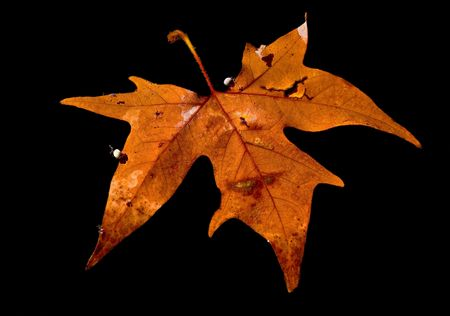 Autumn leaf  floating on the water,  black background. photo