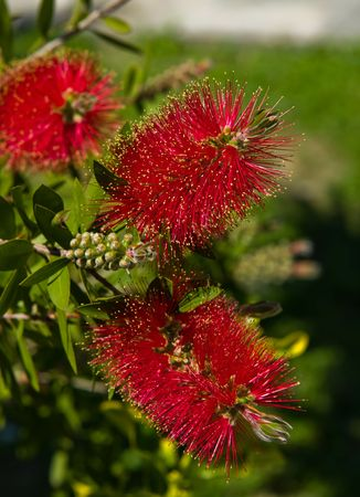 callistemon: Bottlebrush (Callistemon) flowers and buds. Zakynthos Island, Greece.