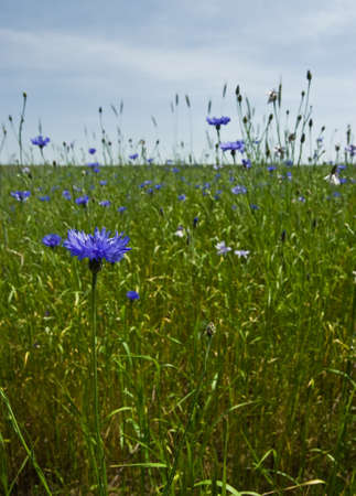 Neglected cornfield with blue Knapweeds photo