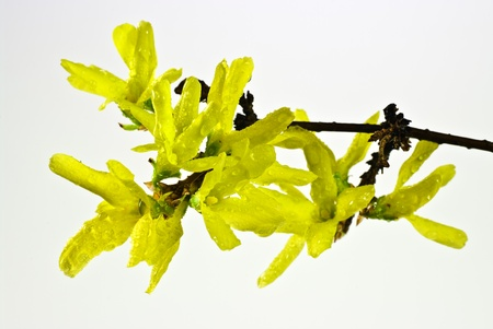 Twig of blooming forsythia