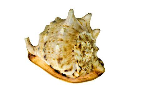 Empty sea shell isolated on white Stock Photo