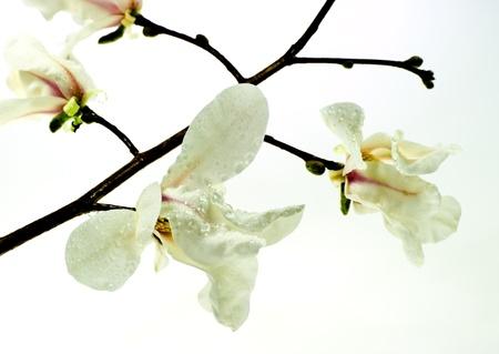 Spring magnolia tree blossom