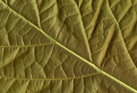 Close-up of flattened avocado leaf