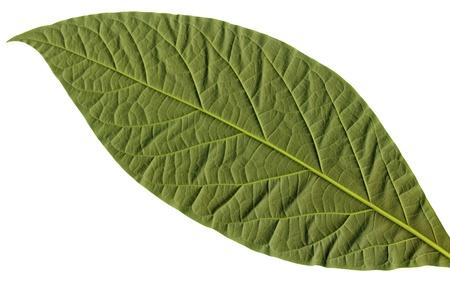 Close-up of flattened avocado leaf, isolated