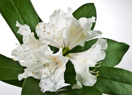 Flowers of white rhododendron on neutral background Stock Photo