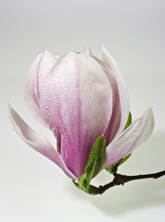 Pink magnolia flower on neutral background