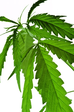 Cannabis leaves isolated on white photo