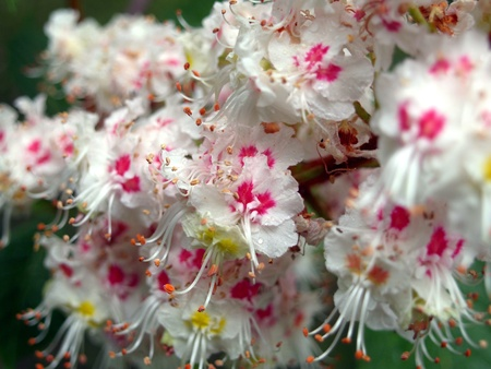 moisten: Flower of a horse chestnut  Stock Photo