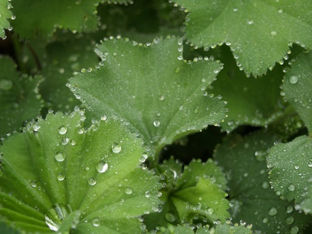 Lady�s Mantle closeup photo