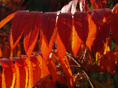 staghorn: Leaves of the Staghorn sumac Stock Photo