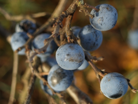 fruiting: Fruiting bodies of the blackthorn Sloe Stock Photo