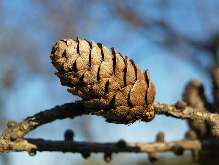 pinaceae: individual small larch cones
