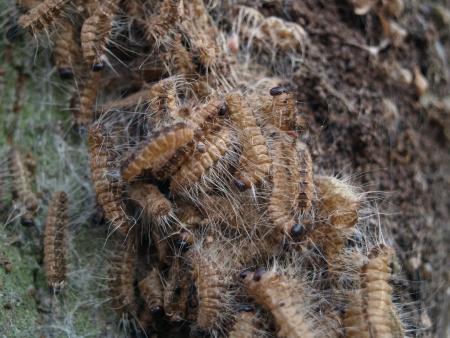 pokrzywka: Caterpillars dębu ćma processionary
