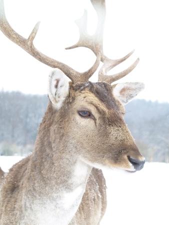 appraising: Deer in winter