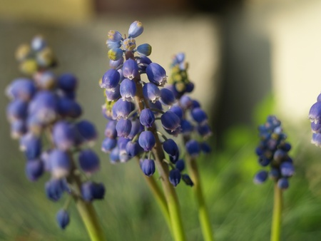 Group of grape hyacinths in the summer breeze photo