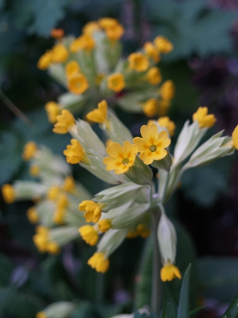 harbinger: Evening shot of a cowslip in April