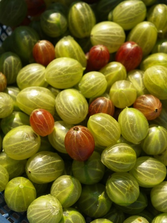 ribes: a pile of green and red gooseberries shortly after harvest