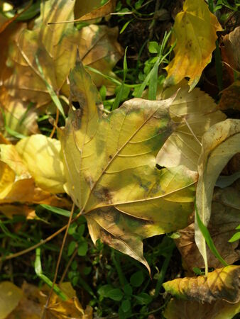 transience: Fall leaves in the grass Stock Photo