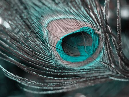 piuma di pavone: Colorata piuma di pavone