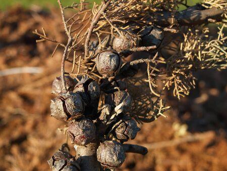 bolls: Seedpods a spruce