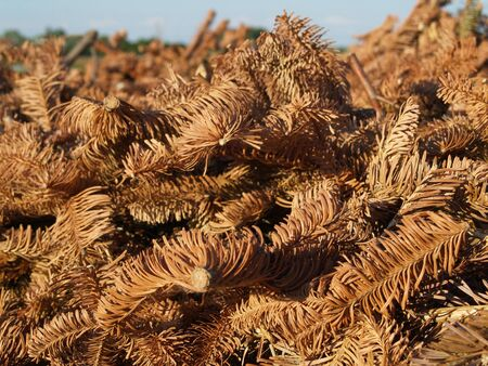 transience: withered pine fronds