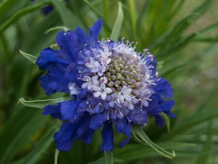 flowerpower: Blue Scabiosa Stock Photo