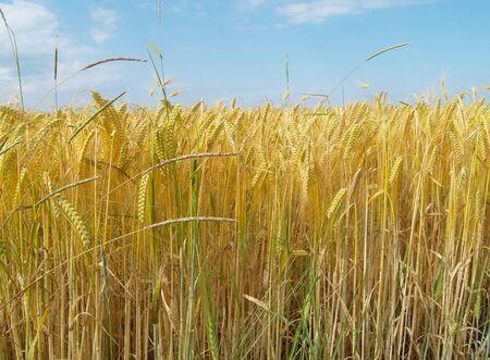 wheatfield: Wheatfield Close