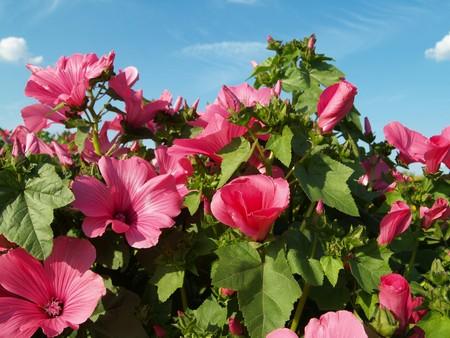 malvaceae: Mallow field Stock Photo