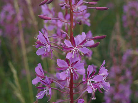 blight: Wild Fireweed