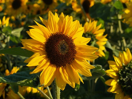 helianthus annuus: Sunflower in the evening light