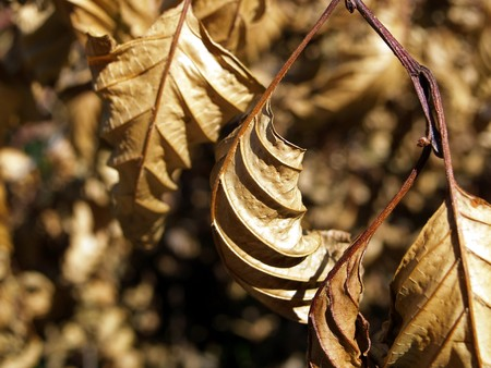 dehydration: Dried leaves