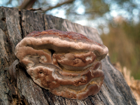 mushroom picking: Brown tree fungus on sawed-off trunk