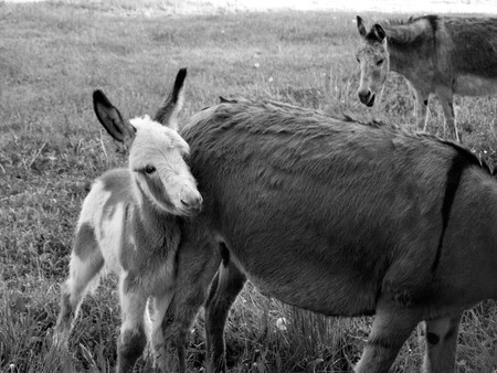 playful behaviour: young donkey with parents Stock Photo
