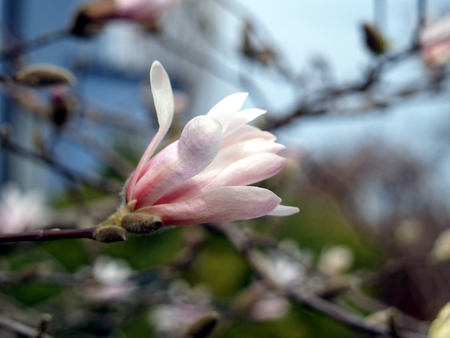 partially: Partially open Magnolia blossom