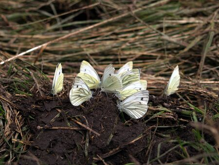 sitt: Meeting Several Cabbage white butterflys