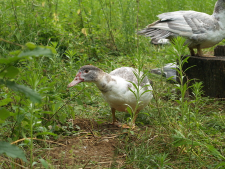 alertness: Curious goose researched Their visitors Stock Photo