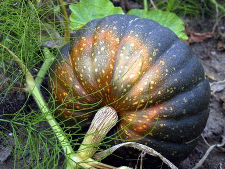 falltime: large garden pumpkin from behind