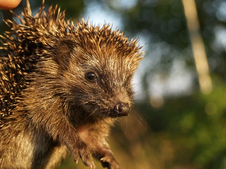 be reaped young hedgehog