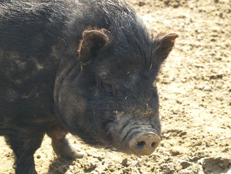 potbellied: Dirty pot-bellied pig in the sun