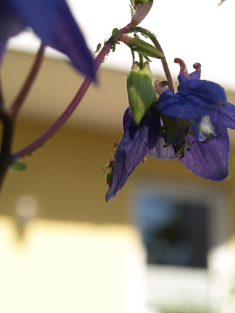 Spider chasing aphid on columbine