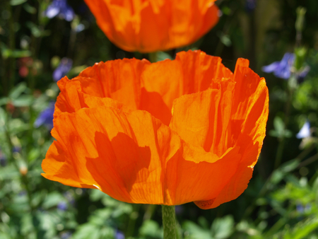 transience: Flower of the Turkish Giant Poppy
