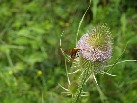 deterrence: Hoverfly on wild teasel