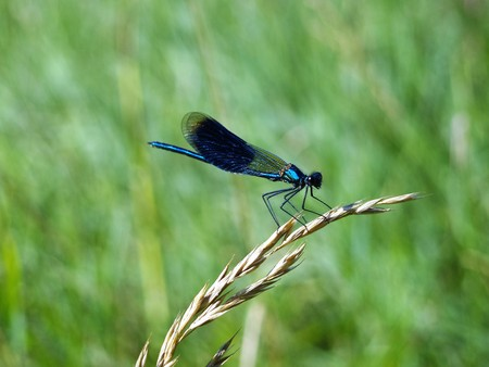 A Dragonfly on wheat