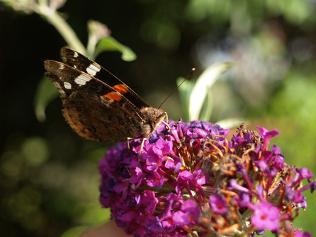 Butterfly on butterfly lilac