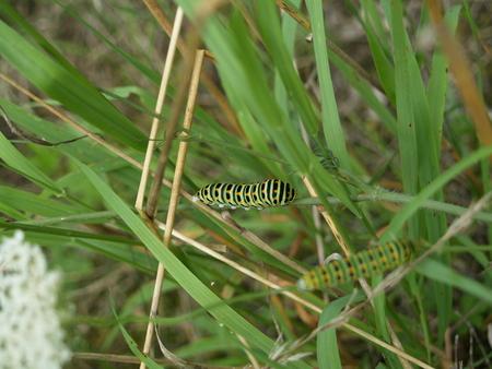 swallowtails: Swallowtails caterpillar in the grass