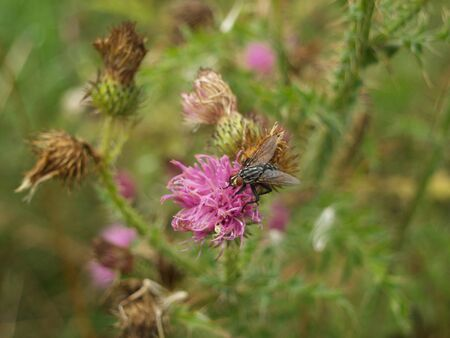 A fly on a thistle Stock Photo