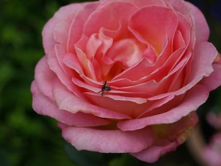 Crab spider on rose Stock fotó